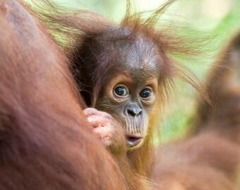 CURIOUS BABY ORANGUTAN Photo Print, Baby Animal Photograph, Wildlife Photography, Safari Baby Nursery Art, Jungle, Baby Monkey, Kids Room
