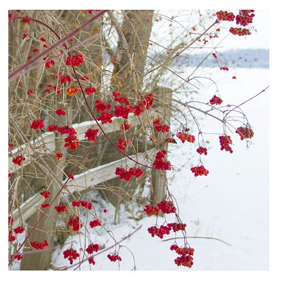 Landscape, Nature, art, photography print, snow scene, winter blooms, berries, red, landscape print, holiday