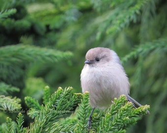 American Bushtit Bird Photo,Bird Photography,Nature Photos,Song Bird Photography