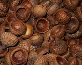 100 Red Oak Acorn Caps - Choice of Size - Natural Acorn Tops