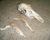 Whitetail deer skull complete teeth jaw bones taxidermy doe good condition