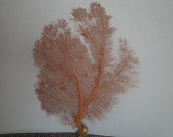 "Pacifigorgia Red  Color  Large Sea Fan 16"" x 20"" Seashells Reef Coral"