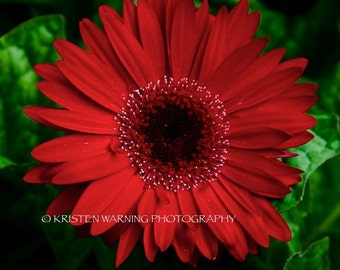 Flowers, Flower Pictures, Pictures of Flowers, Daisy, Daisies, Nature, Red Flowers, Gerber Daisy