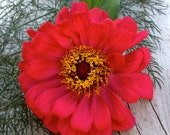 CLEARANCE SALE! Zinnia Meteor Red Annual Cottage Garden Cutting Garden Favorite Rare Antique Heirloom Flower Seeds