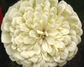 SALE White Dinner Plate Dahlia Giant Zinnia Annual Heirloom Cutting Garden Flower Seed