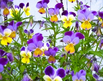 SALE! Johnny Jump Ups Heirloom Flowers Viola Annuals Springtime Smiles Rare Seeds