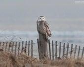 Beachside Snowy Owl