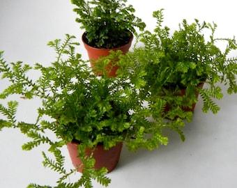 "Mini Mossy Fern Plants - 2"" Potted Set of 3 - Terrarium Plants - Party Favors"