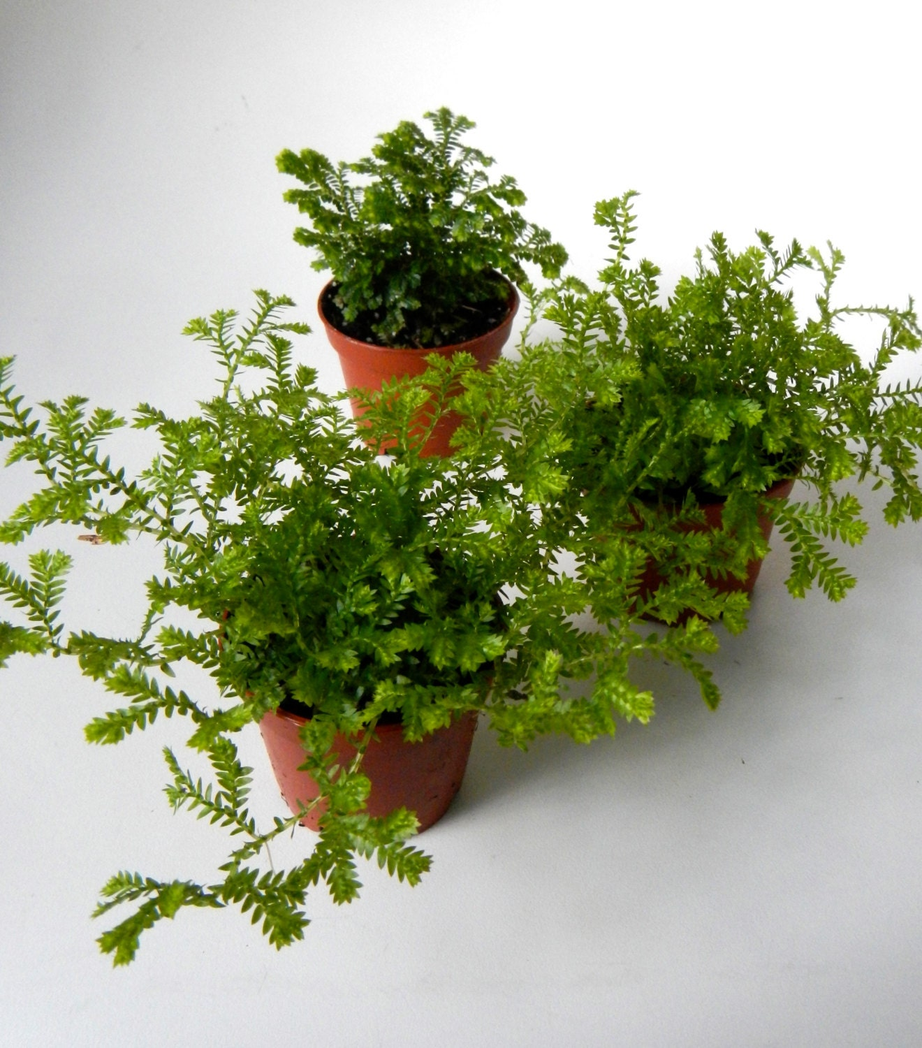 Mini Mossy Fern Plants 2 Potted Set Of 3 By Coastalmoss On