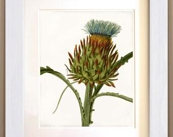 Antique Fine Art Print  - Artichoke Thistle - Natural History