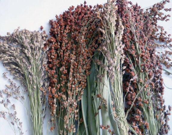 Broom Corn Bicolor Sorghum Seeds