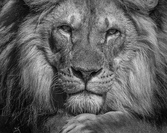 Lion photo wall art, African nature wild big cat photography in black and white sepia. Lion home decor gift for husband, boyfriend, man cave
