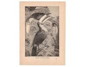 1897 Bird Print, Antique Toucan Print, Original Engraving, Black and White Print, Vintage Decor, Framable Art, Nature Print, Natural History