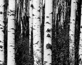 Black and white aspen tree trunks Colorado fine art photograph print 12x18