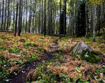 Forest hiking trail aspen trees fall Colorado fine art photograph print 16x24