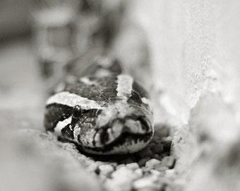 Black and White Python - Reptile Snake Wildlife Photography - 5x7 8x10 8x12 Fine Art Photo Print - Home Decor Wall Art Fotografie