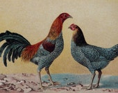 1899 Antique print of a ROOSTER and HEN. Chicken. Poultry. Chickens. Hens. Cock. 118 years old nice lithograph