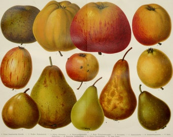 1900 Antique print of APPLES and PEARS. FRUITS, different types. Apple. Pear. 116 years old gorgeous lithograph.