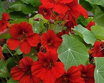 Heirloom, Nasturtium Empress of India, Deep Red Color, Garden Flower, 10 Seeds