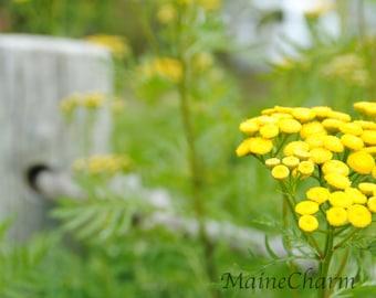 Maine Photography, Eastport Gardens, Flower Art,  Maine Flowers, Botanical Art,  Maine Art, Eastport Maine
