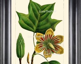 BOTANICAL PRINT Redoute  Art Print 322 Beautiful Poplar Tulip Tree Antique Flower Beautiful Landscaping Nature Home Decor Chart to Frame