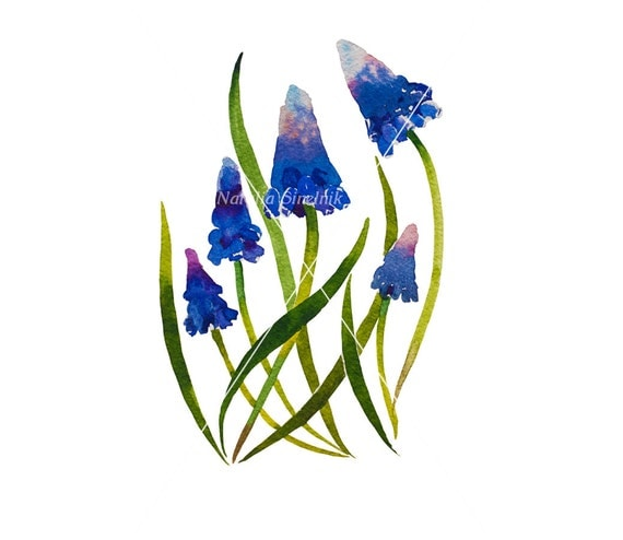 Dark blue muscary flower on white background digital download from original watercolor , garden illustration painting clip art