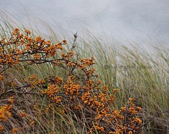 Bittersweet and Beach Grass Fine Art Photograph Cape Cod Coastal Art