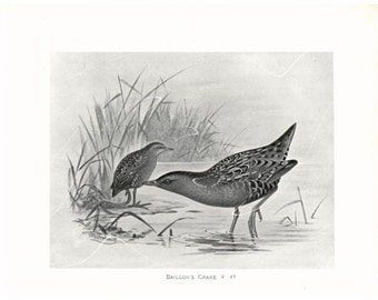 Original Antique Natural History Bird Print Baillon's Crake  - F.W. Frohwak