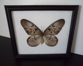 Taxidermy Real Butterfly Emperor Tree Nymth Framed Display Idea Lynceus Lepidopterology