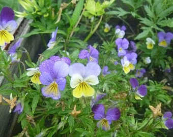 Viola cornuta (Johnny Jump-Up)  Wild  Pansy Seeds