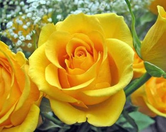 yellow rose seed,20,flower roses seeds, roses from seeds,planting roses,growing roses from seeds,seeds for roses