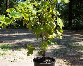 Thompson Seedless Grape 1 Gal. Live Healthy Vine Plant Grapes Plants Vineyards Garden Vineyard Grapes Vineyards Natural Antioxidants Gardens