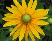 75 - Heirloom Green Eyes or Green Eyed Daisy Seeds -  Heirloom Green Eyed Daisies, Heirloom Daisies, Unusual Flowers, Heirloom Daisy Seeds
