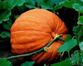 30 - Heirloom Pumpkin Seeds - Big Max - Heirloom Big Max Pumpkins, Huge Pumpkin Seed, Giant Pumpkin Seed, Non-gmo Pumpkin Seed, Non-gmo Seed