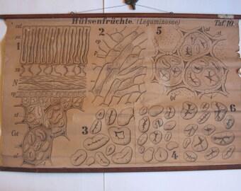 antique lithograph school chart, hülsenfrüchte (leguminosae)