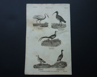 Original 1828 antique fauna print of birds - old b/w pictures about great egret black faced ibis trumpeter china jacana phalarope bird