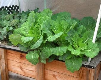 COLLARD Greens, Vates, HEIRLOOM, ORGANIC Seeds, Care is minimal !