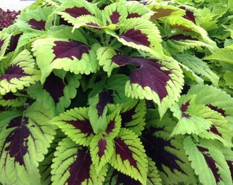 Coleus Seeds,''Kong Lime Sprite' coleus .Great house plant ! Shade Loving, foliage plant