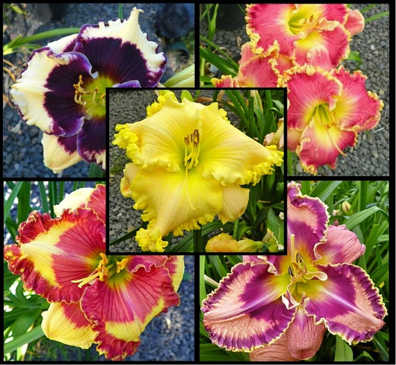 Day lily Seeds , Night Whispers Mix, re-blooming throughout the season. The abundance of blooms and color !