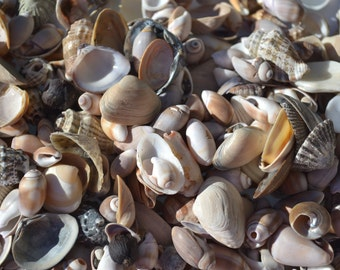 Lot of Mixed Small Shells, Craft Shells, Jewelry Shells (SP1)