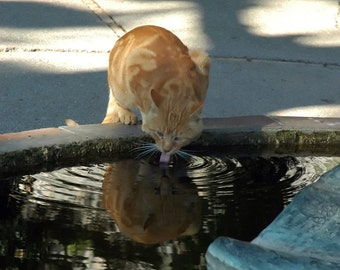 Thirsty Kitty Drinks from Fountain, kitty, cat, cat lovers, fountain, water, Italy, orange, cards, animal lover, wall art, decor, gifts