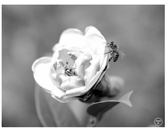 Resting Bee, Macro Photography, Fine Art Photography, Prints, Bee Photos, Sydney Australia, Bee Photography, Black & White Bee Photography