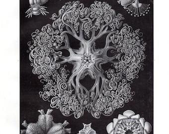 1899 Original Ernst Haeckel Print Ophiodea Starfish Kunstformen Natur 1st Pl 70 Antique Print Nautical Art