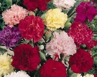 Carnations- Chabaud Mix- 50 Seeds