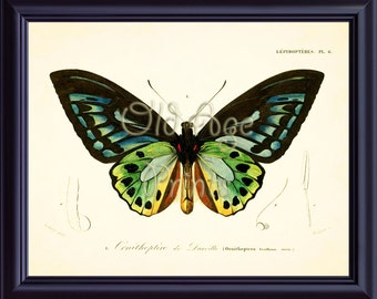 D'Orbigny Butterfly Print BIRDWING Green and Black Vintage Antique 8x10 Art Print Old Prints Natural History  Nature Print Home Decor IP0201