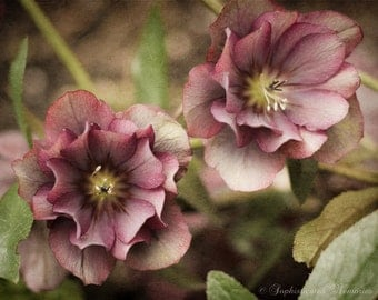 Hellebore Floral Photography - 11x14, 16x20 Wall Decor - Pink Floral Fine Art Photograph - Winter Garden - Picture of Flowers - Bedroom Art