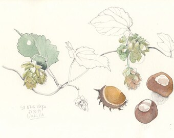 Autumn drawing, nuts and hop watercolor ORIGINAL botanical drawing. Chestnuts, Hop. Pencil & watercolor Botanical still life by Catalina S.A