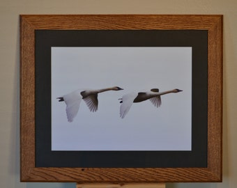 Fir Island Determination, trumpeter swan art, oak framed skagit county art, local art, giclee print image. scenic, natural art, Washington