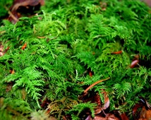 Live moss, fern leaved for terrarium, vivarium, miniature gardens or craft projects. Fresh from my forest, Give a natural look.