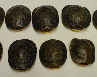 5 1/2 - 7 INCH Natural Red Eared Slider Turtle Shells CHOOSE your QUANTITY #TU21